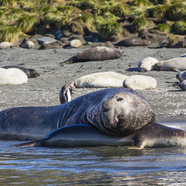 """Southern elephant seal (Mirounga leonina) bull mating with female, Gold..."" stock image"