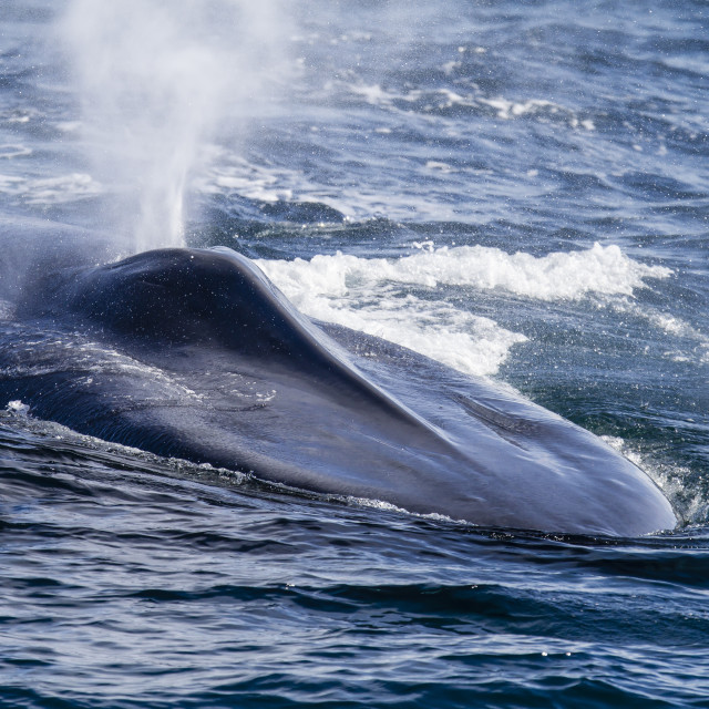 """""""Adult blue whale (Balaenoptera musculus) surfacing off northwestern..."""" stock image"""