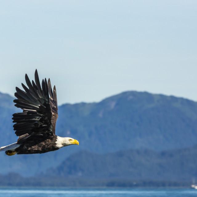 """Adult bald eagle (Haliaeetus leucocephalus), Inian Pass, Southeast Alaska,..."" stock image"