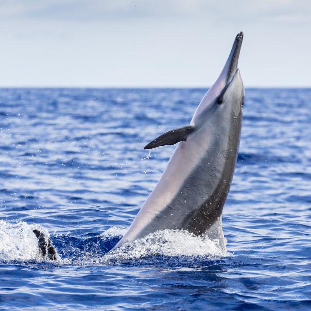 """Hawaiian spinner dolphin (Stenella longirostris), AuAu Channel, Maui, Hawaii,..."" stock image"