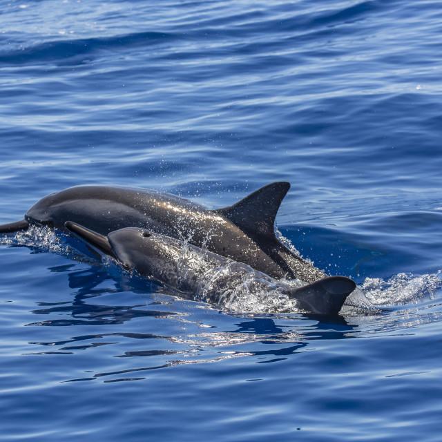 """Hawaiian spinner dolphins (Stenella longirostris), AuAu Channel, Maui,..."" stock image"