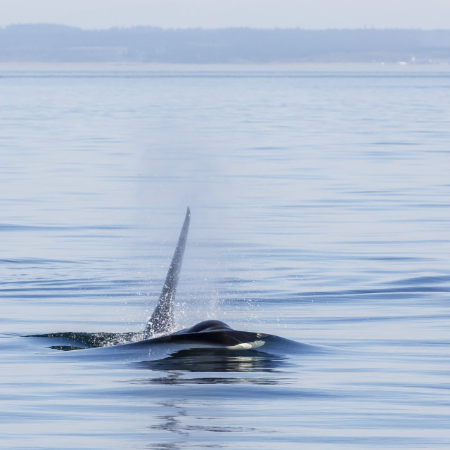 """""""Resident killer whale (Orcinus orca) bull, Cattle Pass, San Juan Island,..."""" stock image"""