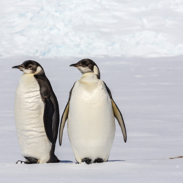 """Recently fledged emperor penguins (Aptenodytes forsteri), Enterprise Islands,..."" stock image"
