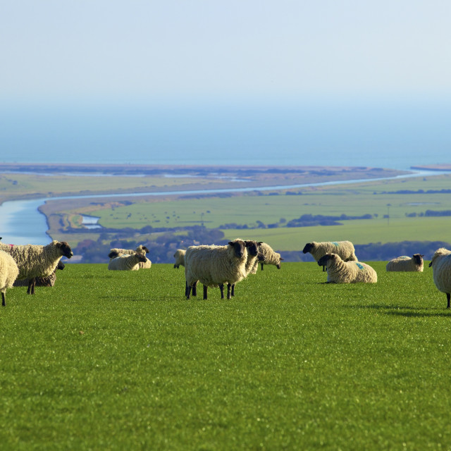 """Sheep with Cuckmere Haven in the background, East Sussex, England, United..."" stock image"