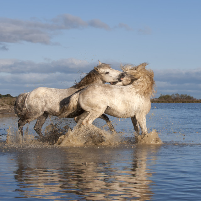 """Camargue horses, stallions fighting in the water, Bouches du Rhone, Provence,..."" stock image"
