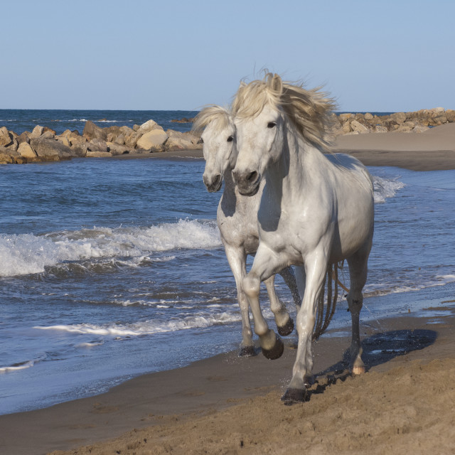 """Camargue horses running on the beach, Bouches du Rhone, Provence, France, Europe"" stock image"