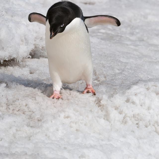 """""""Adelie penguin (Pygoscelis adeliae), Paulet Island, Erebus and Terror Gulf,..."""" stock image"""