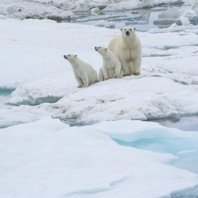 """Mother polar bear with two cubs (Ursus Maritimus), Wrangel Island, UNESCO..."" stock image"