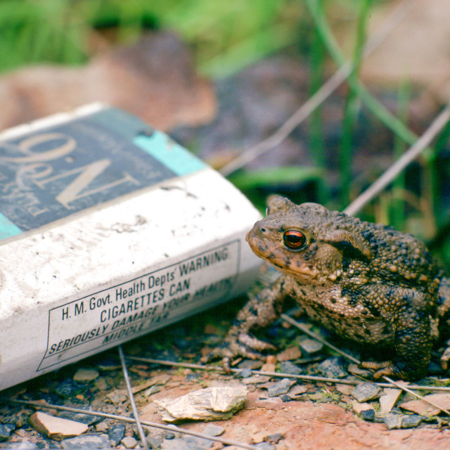 """""""A toad next to a discarded Players No. 6 empty cigarette packet, England,..."""" stock image"""