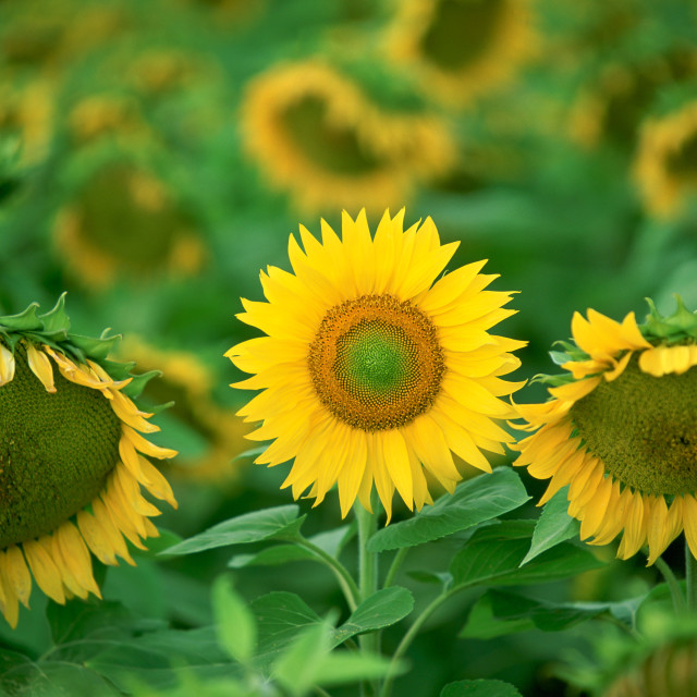 """Standing out from the crowd - a healthy sunflower holds its head up proudly..."" stock image"