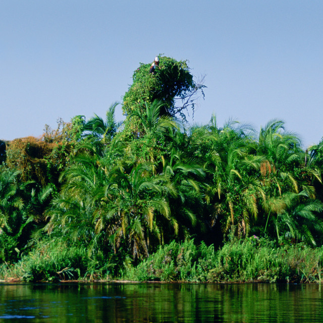 """""""Pair of African Fish Eagles on creepers and palm trees in the Okavango Delta..."""" stock image"""