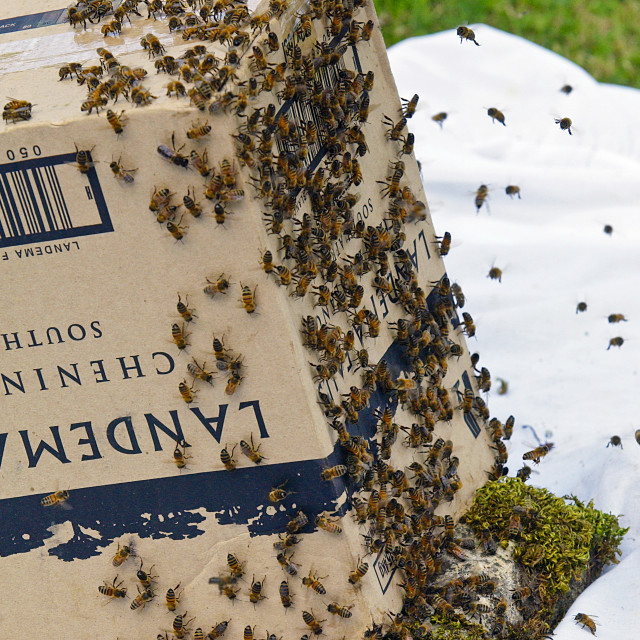"""Trapping a swar m of honey bees in a cardboard box, Cotswolds, UK"" stock image"