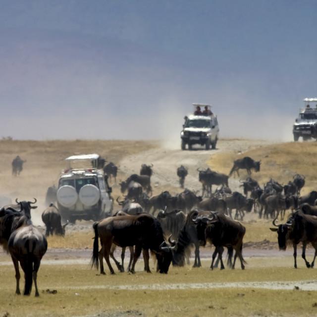 """Herd of Blue Wildebeest, Ngorongoro Crater, Tanzania, East Africa"" stock image"