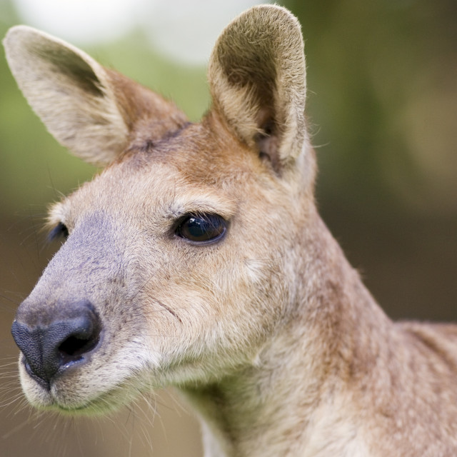 """Antilopine Wallaroo, Queensland, Australia"" stock image"