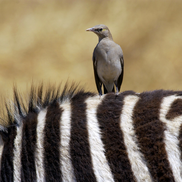 """A bird resting on the back of a Common Plains Zebra (Grant's), Ngorongoro..."" stock image"