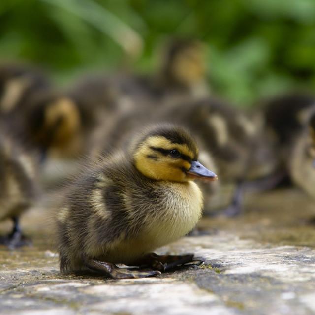 """Mallard ducklings just a few days old, Swinbrook, Oxfordshire, England"" stock image"