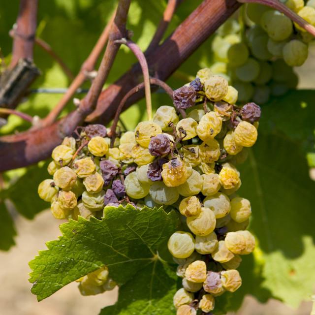 """Noble rot, botrytis Cinera, on grape vine, Preignac, Sauternes,France on the..."" stock image"