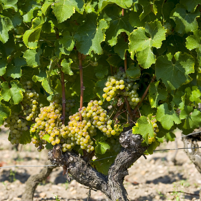"""""""Bunches of grapes on grape vine Sauternes,France on the estate of Chateau de..."""" stock image"""