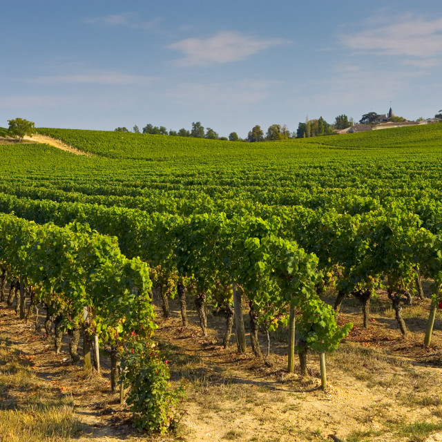 """""""Vineyard, Preignac, Gironde region of France. The vineyard is in the grounds..."""" stock image"""