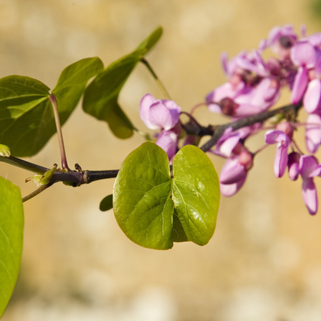 """Tree branch thought to be a Judas Tree, Gloucestershire, The Cotswolds,..."" stock image"