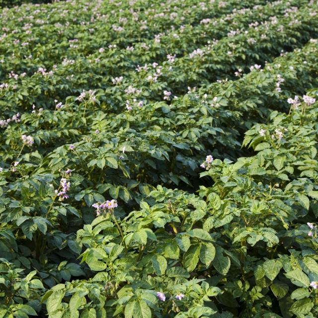 """""""Potato crop grown for sale in supermarkets, near Holkham, United Kingdom"""" stock image"""
