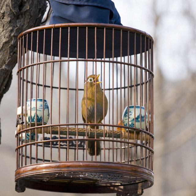 """Laughing Thrush hanging in a cage in a park, central Xian, China"" stock image"