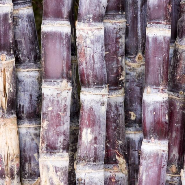 """""""Sugar canes, Guilin, China"""" stock image"""