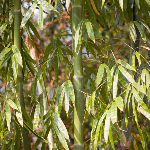 """""""Bamboo canes, Guilin, China"""" stock image"""