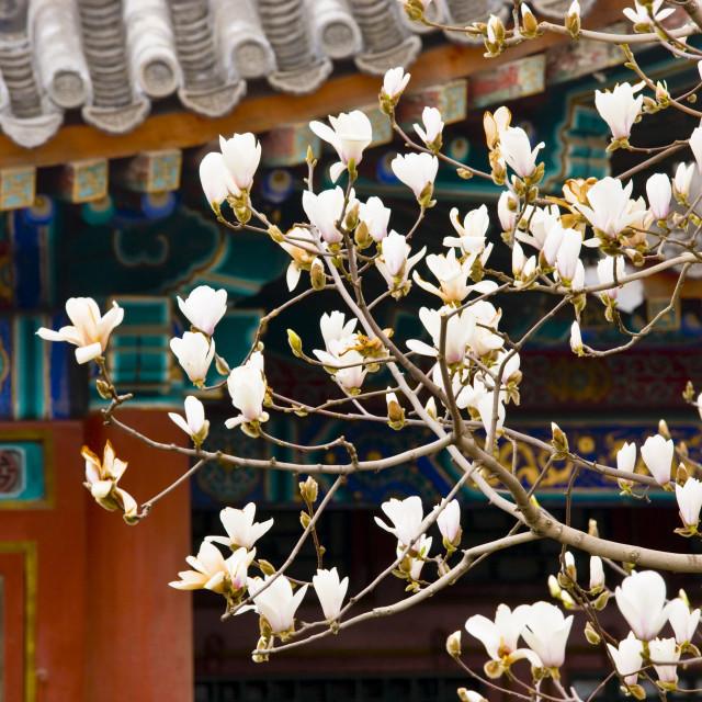 """Magnolia tree at The Summer Palace, Beijing, China"" stock image"