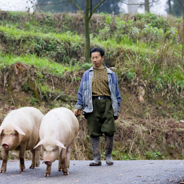 """Farmer leads pigs to market near Chongqing, China"" stock image"