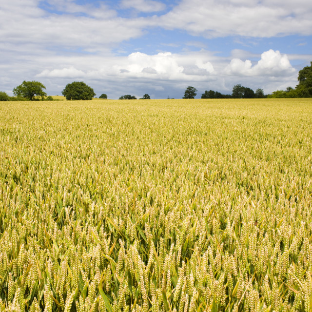 """Wheat field near Temple Guiting in The Cotswolds, Gloucestershire, UK"" stock image"