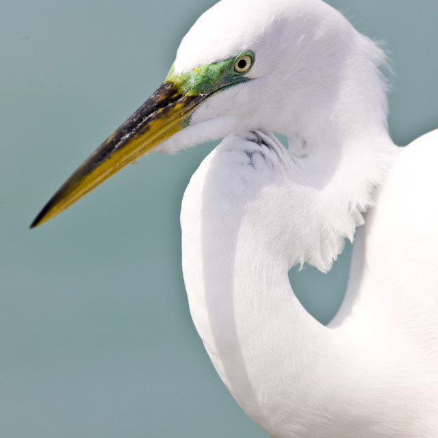 """Great Egret, Ardea alba, also known as the Great White Egret or Common Egret..."" stock image"