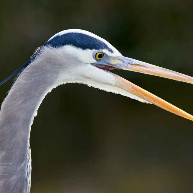 """Great Blue Heron, Ardea herodias, in the Everglades, Florida, USA"" stock image"