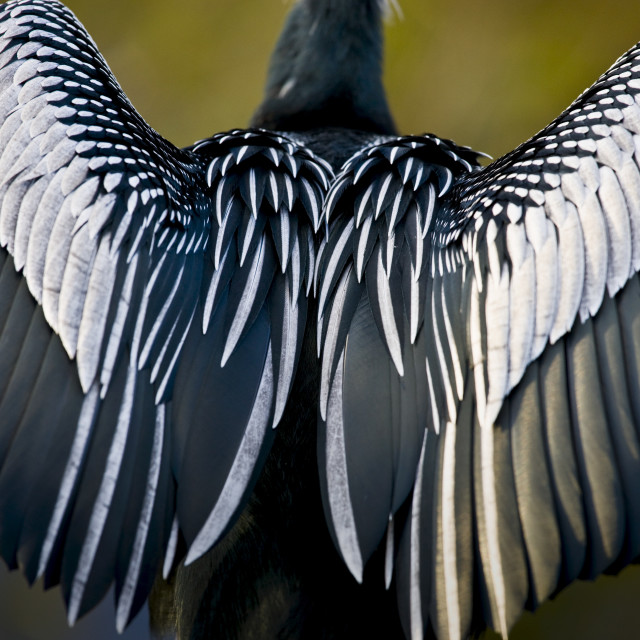"""Anhinga snakebird darter, Anhinga anhinga, air drying feathers in the..."" stock image"
