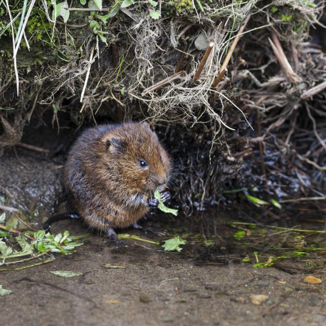 """Water Vole Arvicola amphibius Teesdale North Pennines"" stock image"