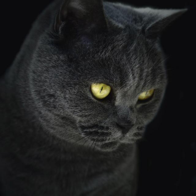 """""""British Blue Cat"""" stock image"""