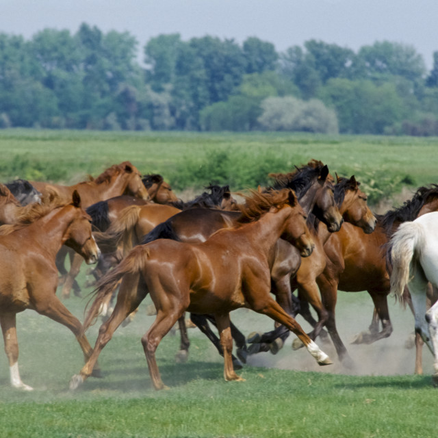 """""""Herd of wild horses on the Great Plain of Hungary at Bugac, Hungary"""" stock image"""