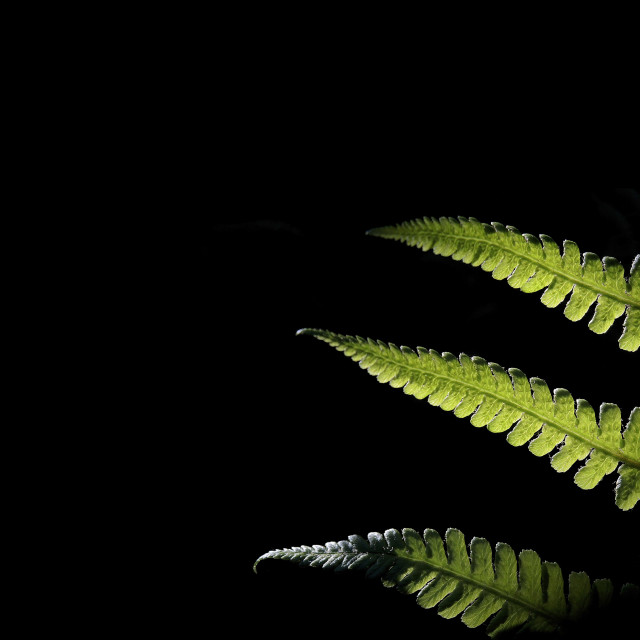 """""""Backlit Fern with Black Copy Space"""" stock image"""