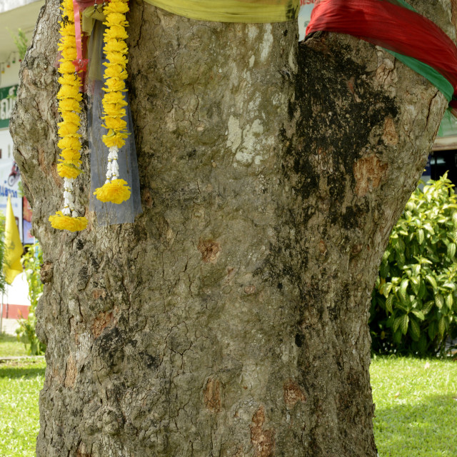 """""""The first rubber tree planted in Thailand, now object of reverence for the..."""" stock image"""