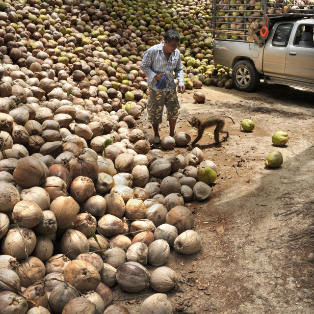 """Macaque monkeys trained to collect coconuts in Ko Samui, Thailand, Southeast..."" stock image"
