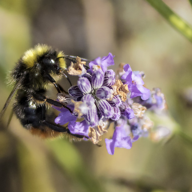 """Bumble Bee on Lavender"" stock image"