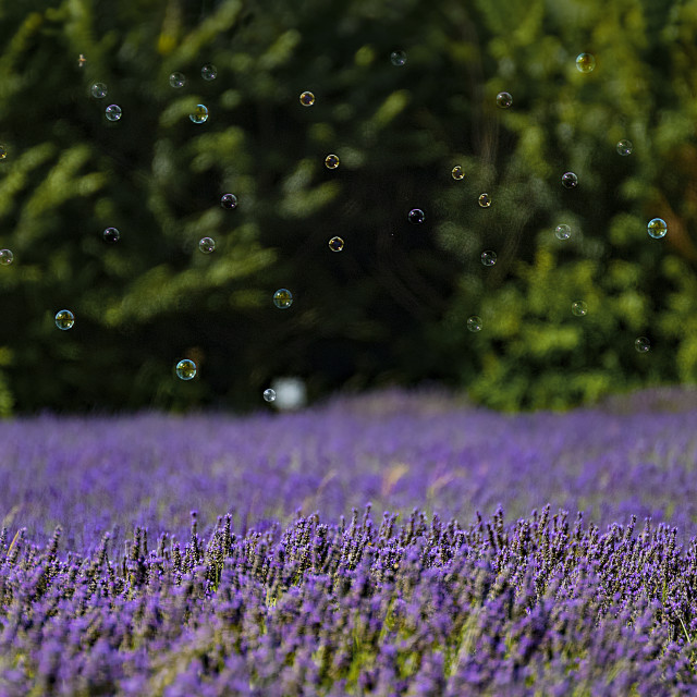 """Bubbles time in Lavender"" stock image"