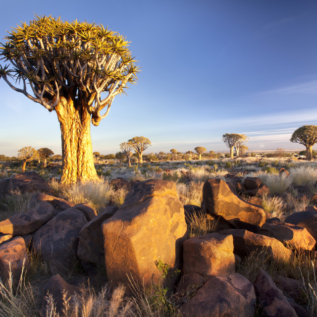 """""""Quivertrees (Aloe Dichotoma) (Kokerboom) in the Quivertree Forest on Farm..."""" stock image"""