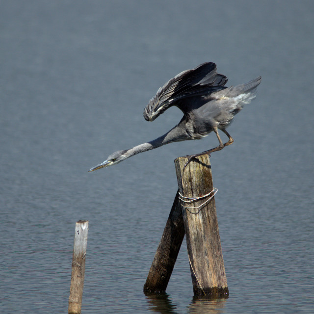 """Pointer Heron"" stock image"