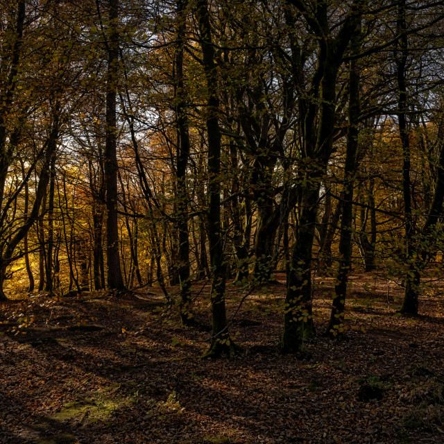 """""""Autumn colours in the forest"""" stock image"""