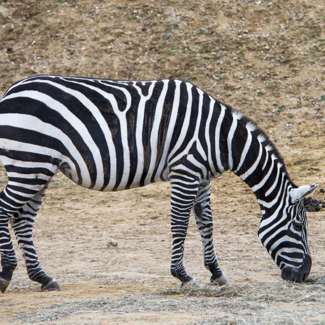 """Zebra Grazing"" stock image"