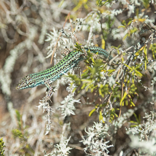 """Green lizard (Podarcis pityusensis), Formentera, Balearic Islands, Spain, Europe"" stock image"