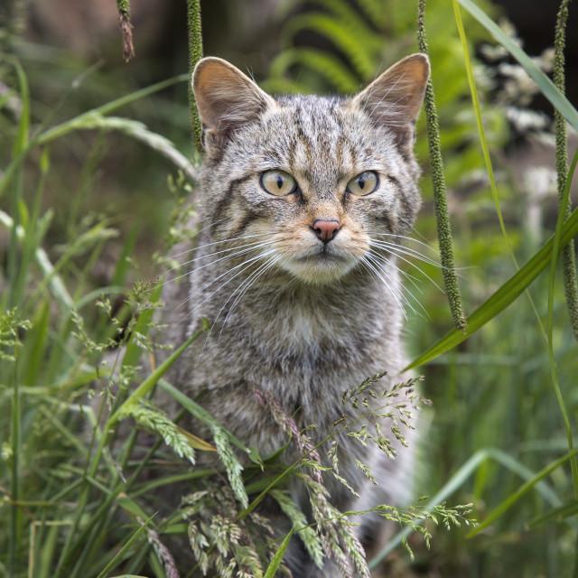 """""""Scottish wildcat (Felis sylvestris), captive, United Kingdom, Europe"""" stock image"""