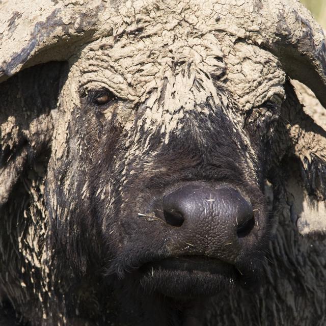 """Cape buffalo (Syncerus caffer) with dried mud, Lake Nakuru National Park,..."" stock image"