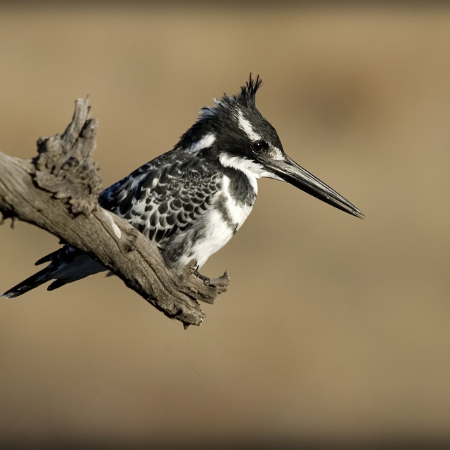 """DSC_2860- Pied Kingfisher"" stock image"